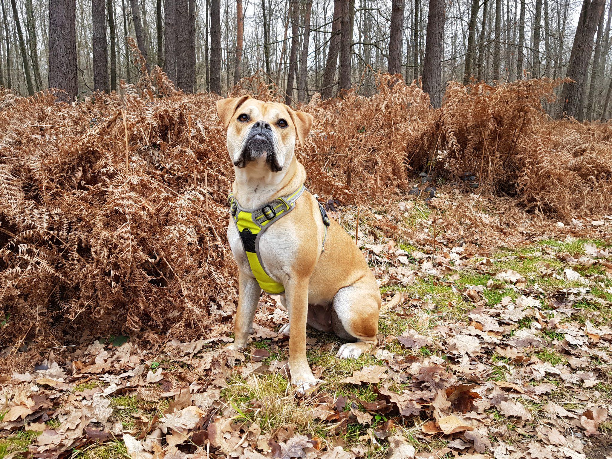 Waldspaziergang | May | Old English Bulldog Hündin | Natur | Wald | Hund | Olde English Bulldogge